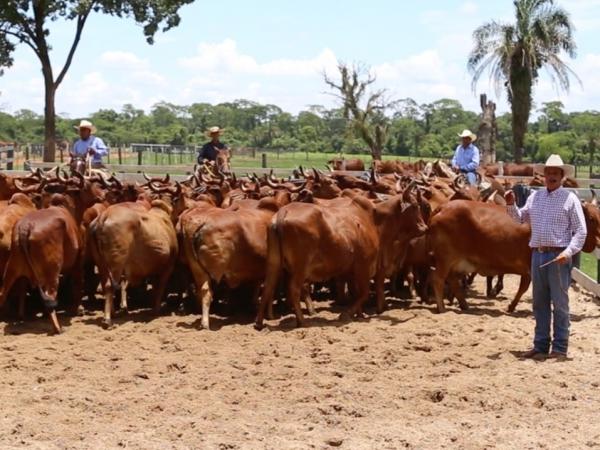 Raça zebuína é rústica e muito requisitada para cruzamentos, visando tanto à pecuária de leite como a de corte