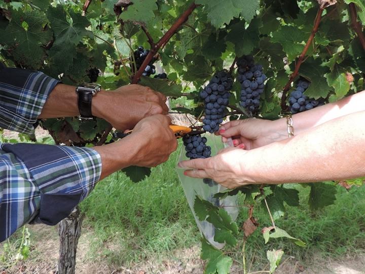 Cientistas selecionam leveduras para produzir vinhos exclusivos