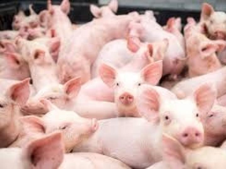 Exportação de carne suína cresce 54,5% em 2020
