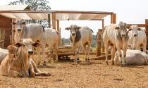 Dieta de alto concentrado diminui GEEs na pecuária