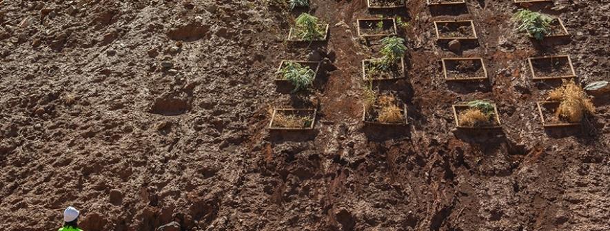 Pesquisadores identificam plantas capazes de extrair níquel do solo