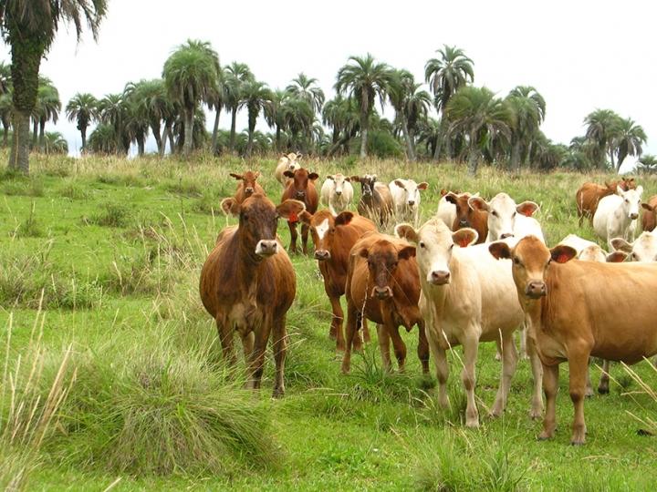 Manejo na pecuária promove a regeneração dos butiazais e a conservação do campo nativo