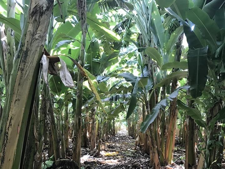Identificado isolado de fungo capaz de controlar doença da bananeira