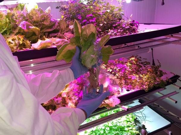 Foto de pesquisa com hortaliças produzidas em fazendas verticais - Credito Italo Guedes