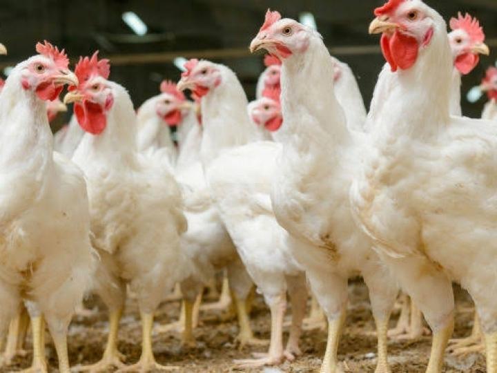 FACTA promove curso on-line de ambiência e bem-estar na avicultura
