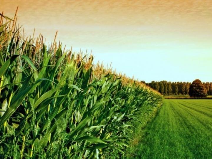 Novo leilão de frete para remoção de 33,4 mil toneladas de milho