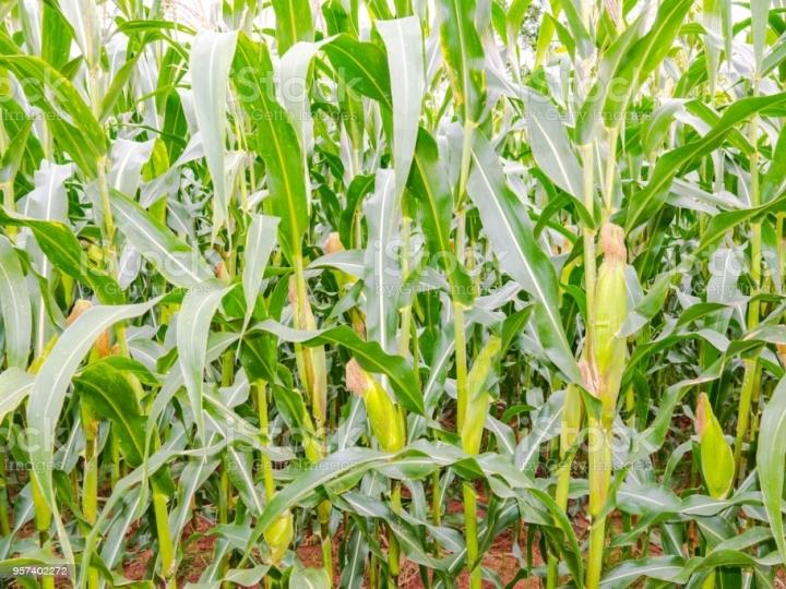 Plantio de arroz, milho e soja maior que período anterior