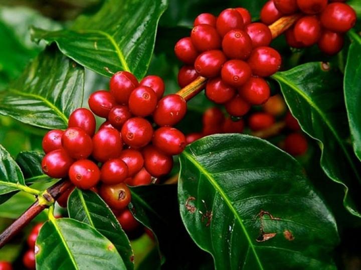 Corteva Agriscience fortalece atuação no setor cafeeiro com controle do bicho-mineiro
