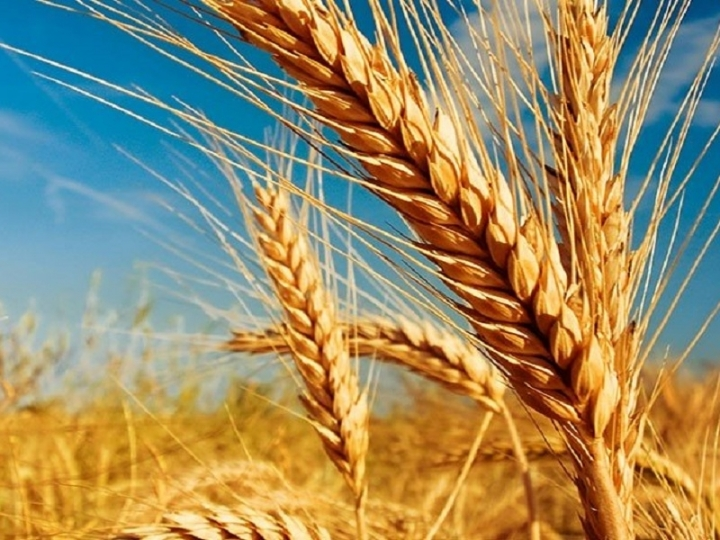 Condições climáticas afetam produção de trigo em São Paulo