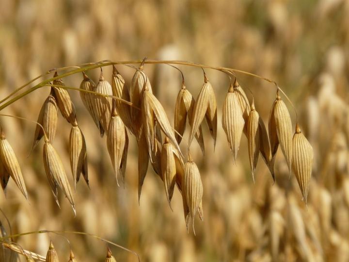Cultivo de aveia ganha novo estudo de zoneamento agrícola de risco climático
