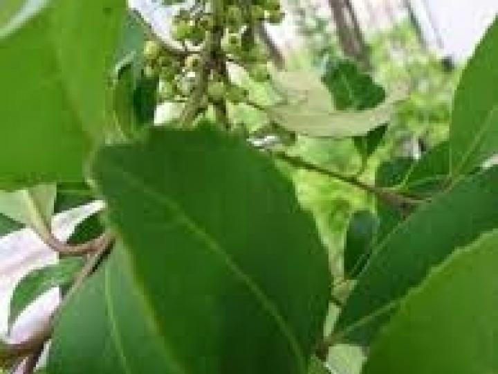 Identificado compostos no tecido de folhas de erva-mate
