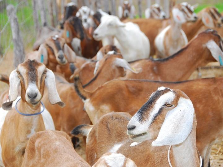 Adubos orgânicos beneficiam caprinos e ovinos