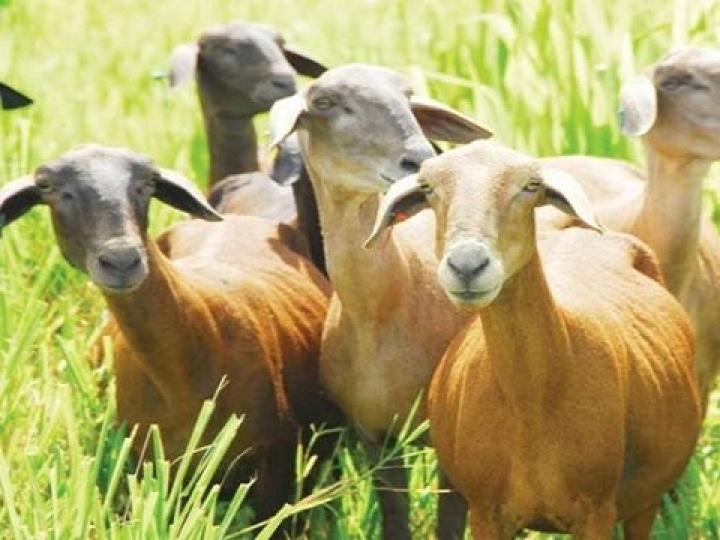 Produção de caprinos e ovinos terá recursos de R$ 426 mil para ações de inovação