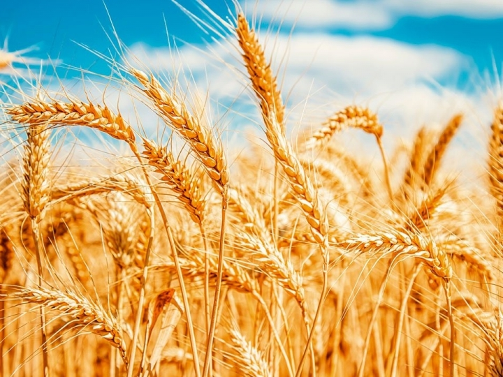 Bactérias promotoras de crescimento de trigo