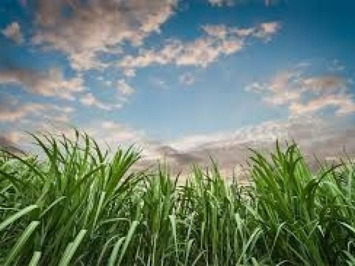 Biosev registra lucro líquido de R$ 485,3 milhões