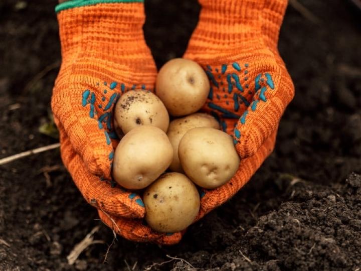 Batata exige tecnologias para proteção contra bactérias e fungos e aumento da produtividade