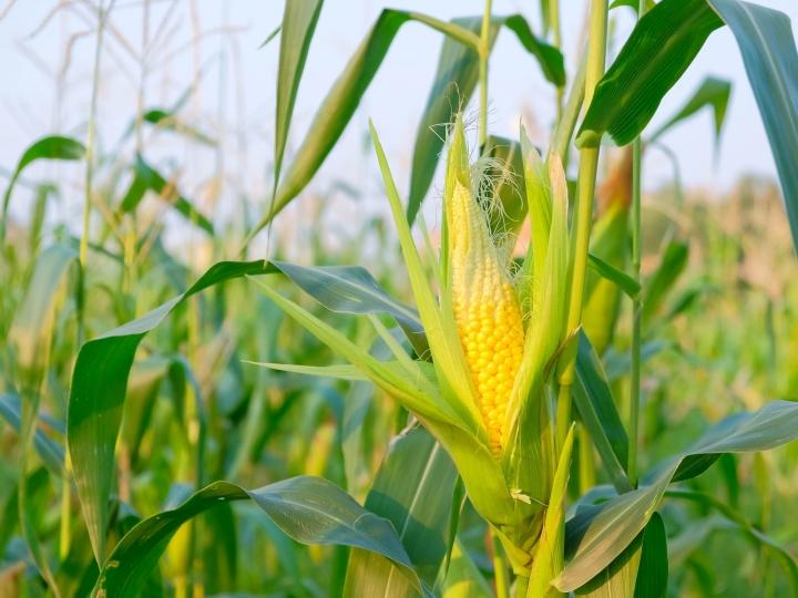 Proteção do milho safrinha contra percevejos no início de seu desenvolvimento  é essencial para a produtividade