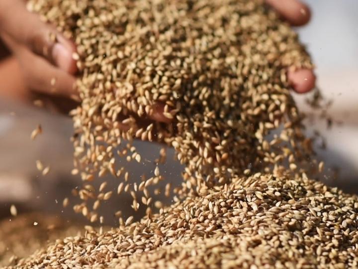 É seguro utilizar sementes de pastagem da safra passada?