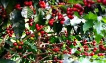 IAC lança Boletim Agrometeorológico para regiões cafeeiras paulistas