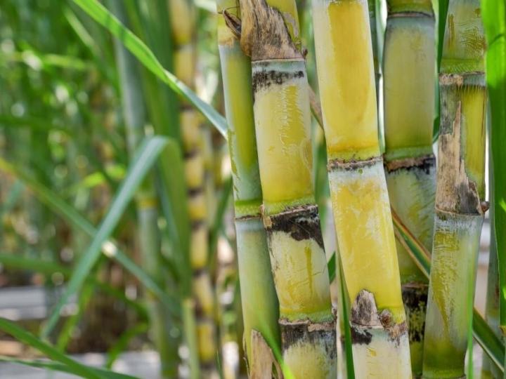Altas temperaturas e umidade favorecem desenvolvimento da broca da cana