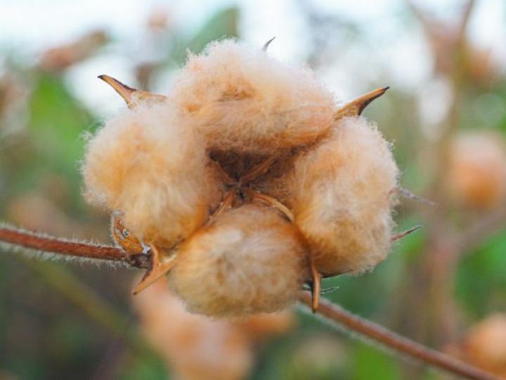 Panos de algodão orgânico movimentam a economia no sertão da Paraíba