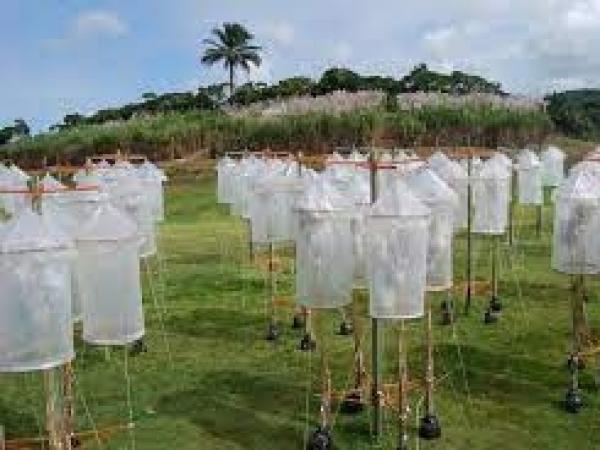 Na Estação de Hibridação, equipes de técnicos e pesquisadores planejam as combinações que irão gerar as sementes (Foto: IAC/SAA)