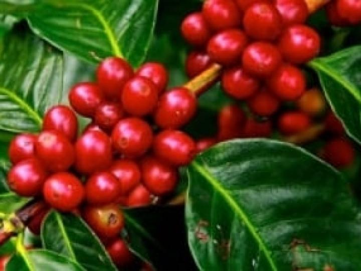 Teores mais altos de CO2 alteram compostos fenólicos da folha do café
