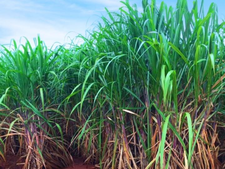 Como proteger seu canavial na seca e melhorar resultados