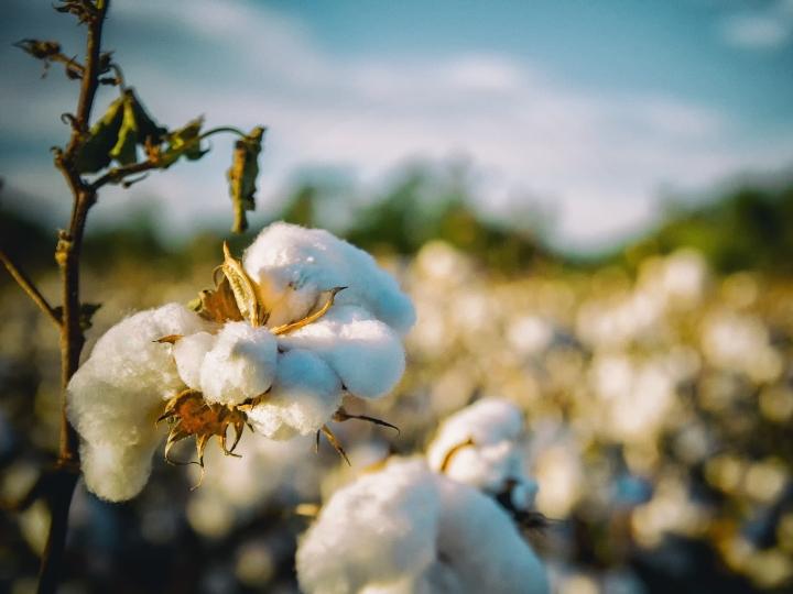 Manejos de resistência são úteis para manter a alta produtividade brasileira de algodão