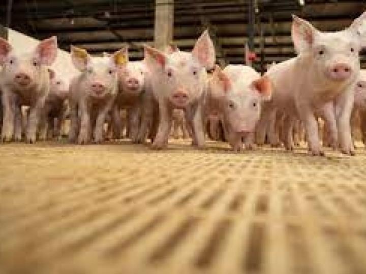 Exportação de carne suína segue em alta e excedente deve ir ao mercado externo