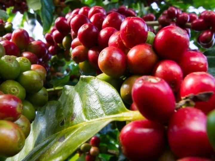 Controle do bicho mineiro é essencial para manter a produtividade nos cafezais