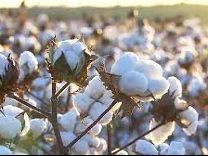 Bayer renova parceria com Sou de Algodão, em apoio à produção responsável da fibra