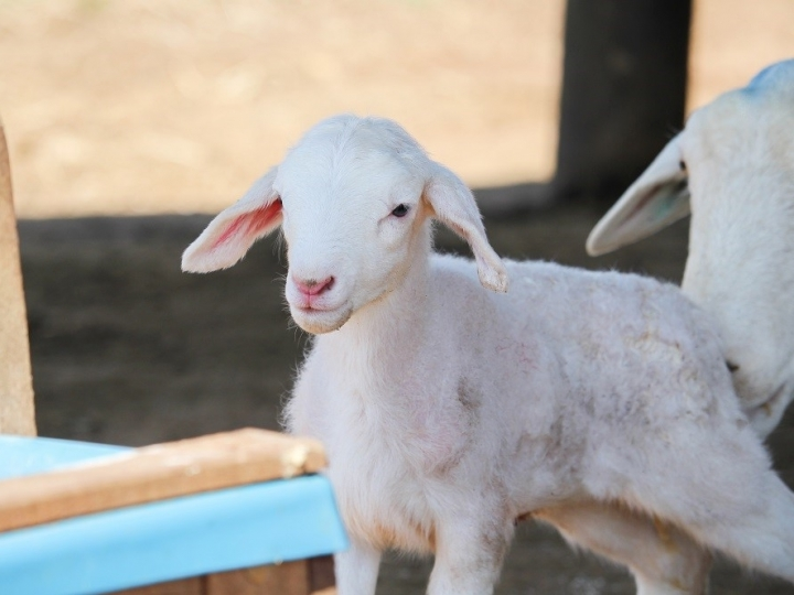 Produtores de ovinos devem redobrar cuidados com cordeiros durante frio