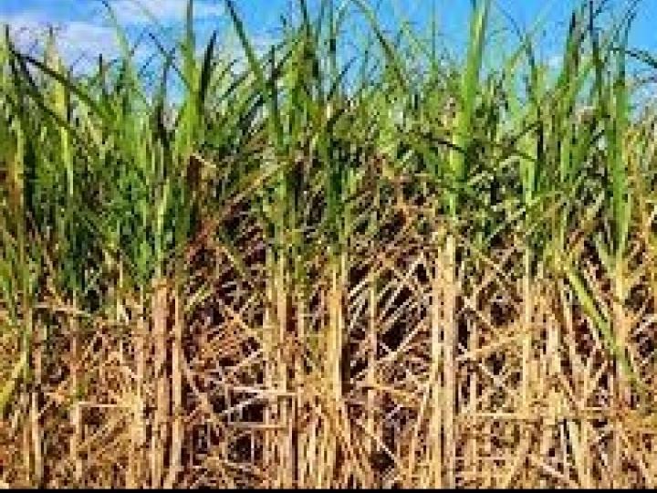 Aumento da eficiência produtiva de cana-de-açúcar pode ser obtido com fertilizante especial