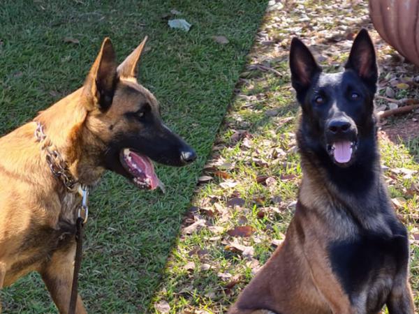 Gael e Hunter vão integrar a equipe do Centro Nacional de Cães de Detecção do Mapa   Foto: Divulgação