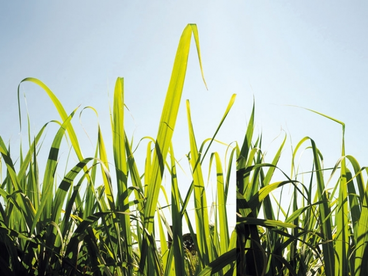 Estresse hídrico prejudica produtividade do canavial e exige atenção e recursos dos produtores