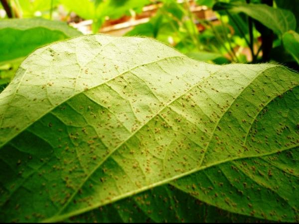 Folha de soja infectada com ferrugem.   Foto: Divulgação