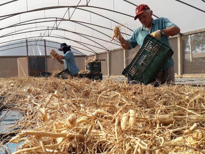 Utilizado em chás e cosméticos, ginseng de origem paranaense cresce na exportação