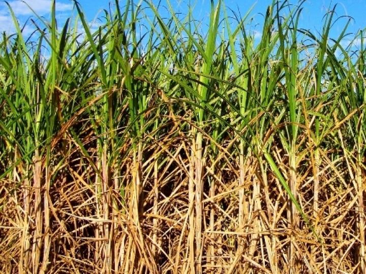 Nova redução na safra de cana-de-açúcar devido ao clima