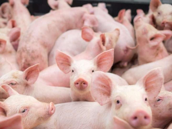 Exportações de carne suína mantém alta de 11,53% em 2021