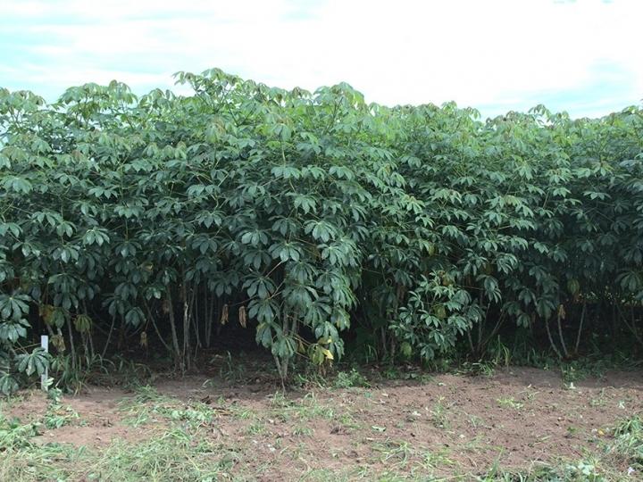 Novas cultivares de mandioca de indústria diversificam a produção de amido no Brasil Central