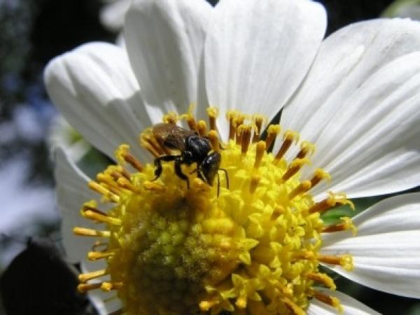 Estudo indica que a proporção de cobertura florestal em áreas do Corredor Ecológico Cantareira-Mantiqueira influencia as concentrações de metais tóxicos acumulados em abelhas jataí encontradas na área de proteção ambiental (foto: Cristiano Menezes/Fototec