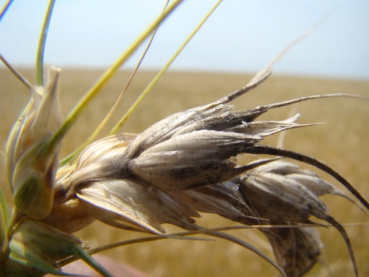 Parceria internacional desperta sistema de alerta para o risco de brusone no trigo