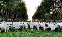 ILPF em propriedades leiteiras é tema de webinar da Embrapa