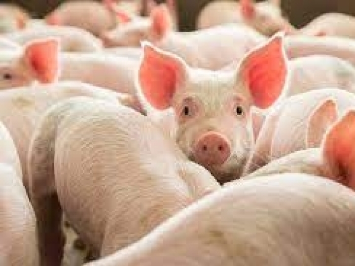 Ministros de Agricultura das Américas terão ação coordenada para combate à Peste Suína Africana
