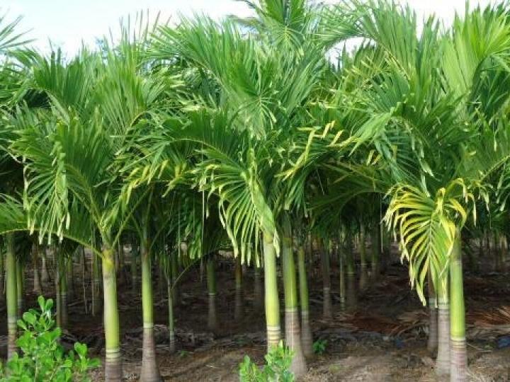 Versáteis e de importância ecológica, palmeiras nativas são objeto de estudo na APTA Regional de Piracicaba