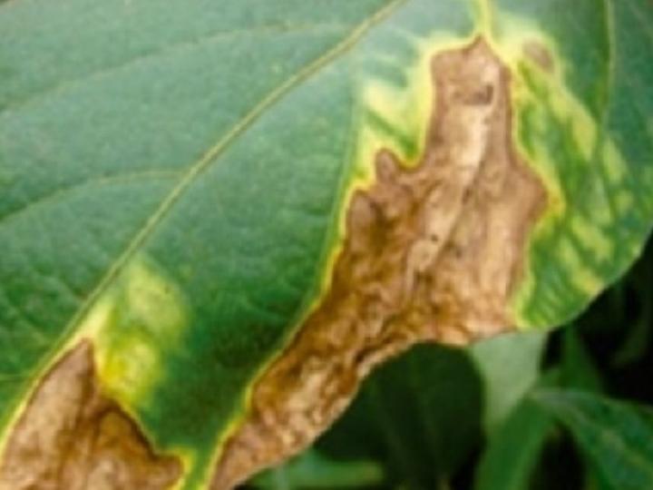 Plantio de feijão após soja intensifica bacteriose em lavouras