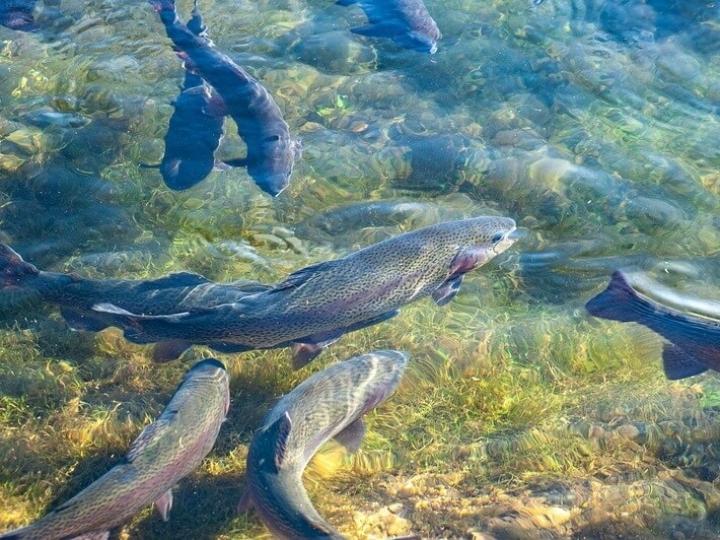 Exportações da piscicultura brasileira neste ano já são superiores às de 2020