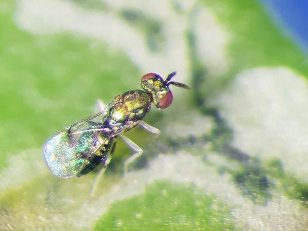 Parasitoide Neochrysocharis formosa, primeiro agente de controle biológico da mosca-minadora registrado no Brasil - Foto: Tiago C. da Costa Lima